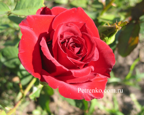 myth-of-rose-3