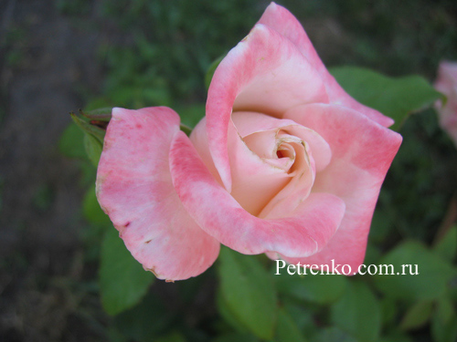 rose-in-russia