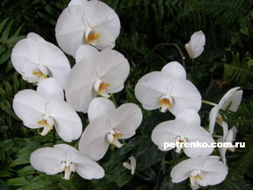 orchid-011