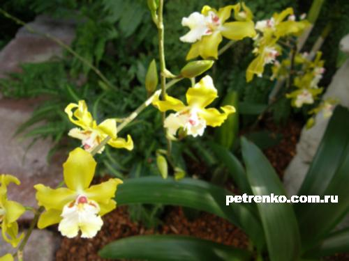 orchid-07