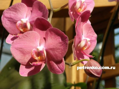 orchid-12