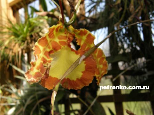 orchid-14