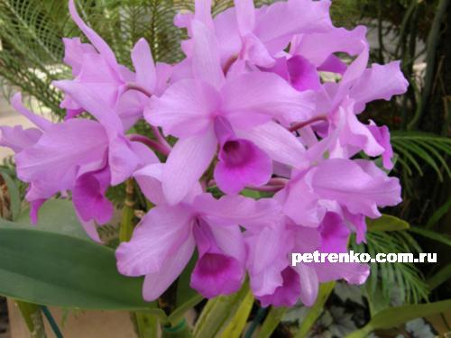 orchid-31