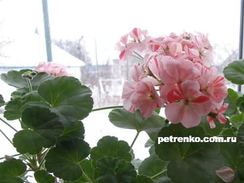 geranium-winter